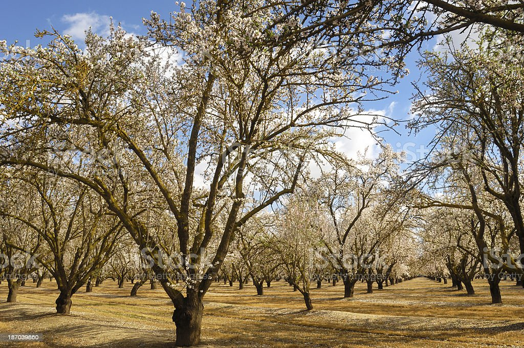 Orchard of Almond Trees with Blossoms royalty-free stock photo