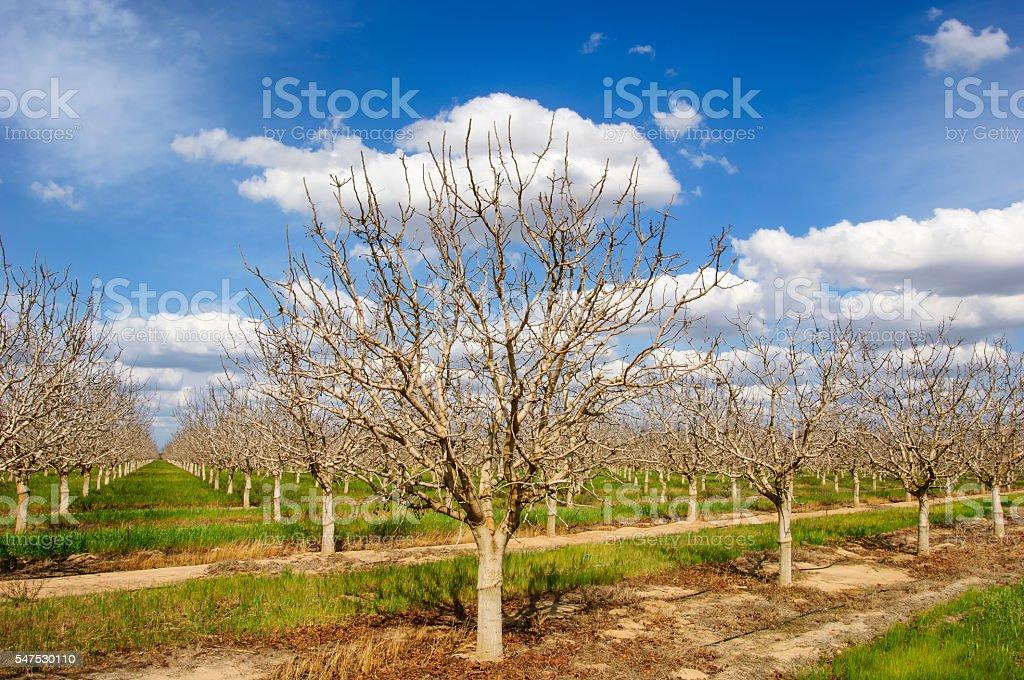 Orchard of Bare Pistachio Nut Trees stock photo