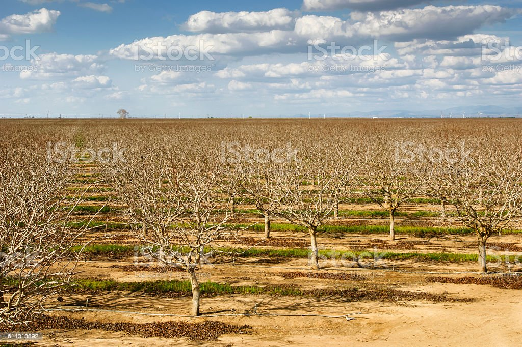 Orchard of Bare Pistachio Nut Trees with Clouds in Background stock photo