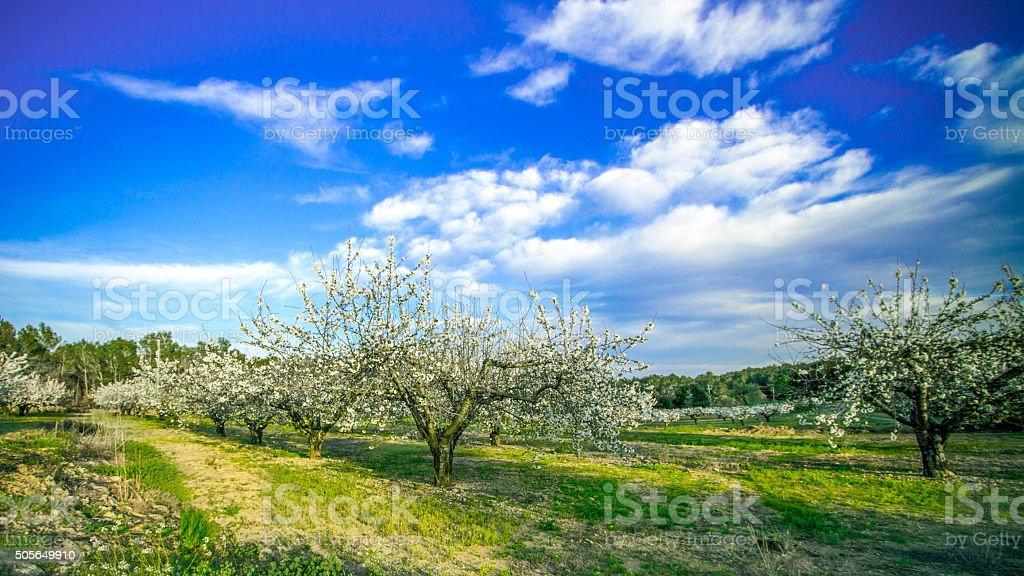 Orchard of blossoming cherry trees stock photo