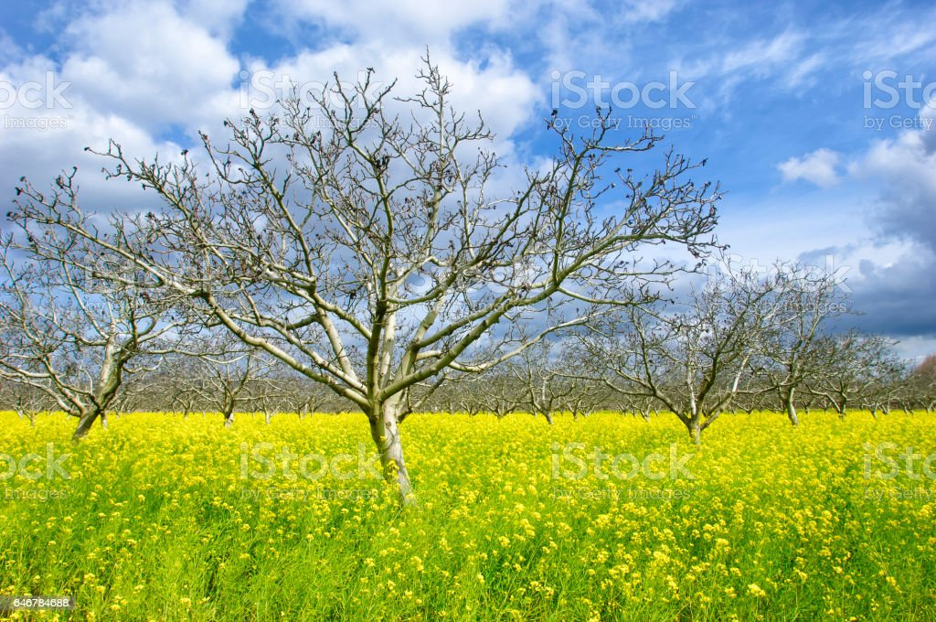 Orchard of Cherry Trees, Field Mustard and Clouds stock photo