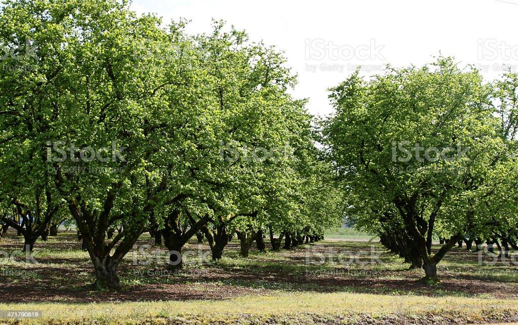 Orchard Of Hazelnut Trees stock photo