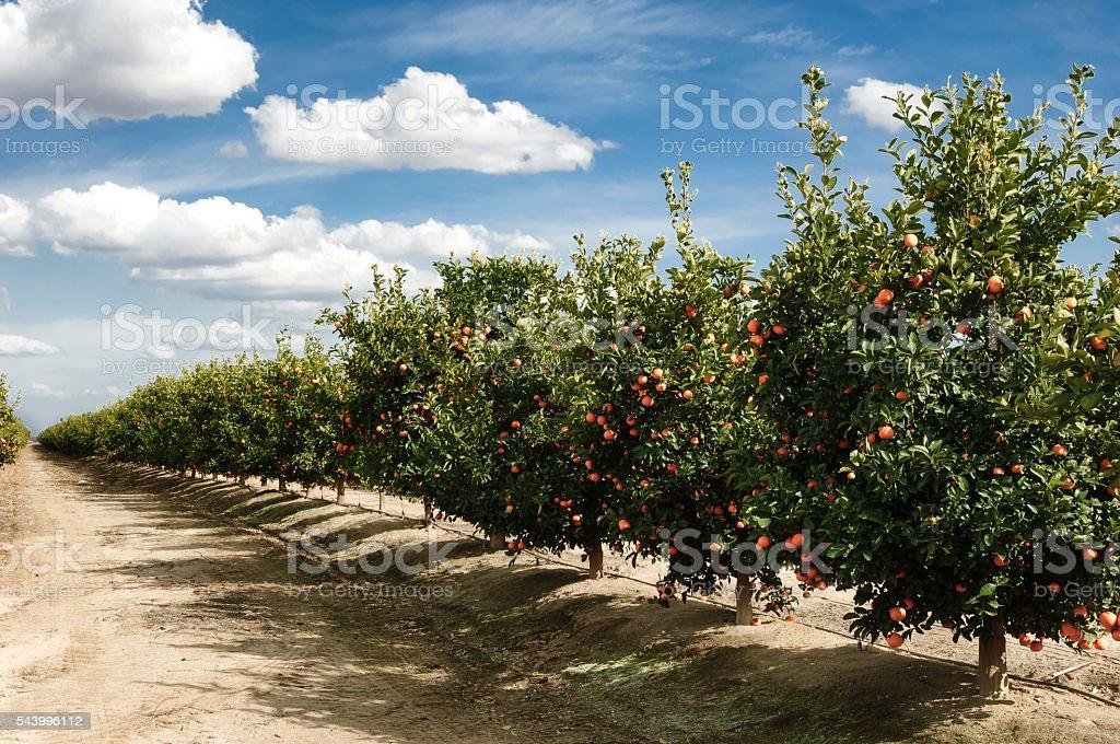 Orchard of Mandarin Orange Trees stock photo