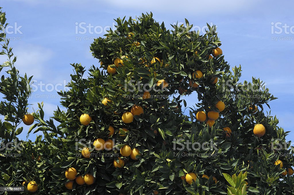 Orchard of Navel Orange Trees royalty-free stock photo
