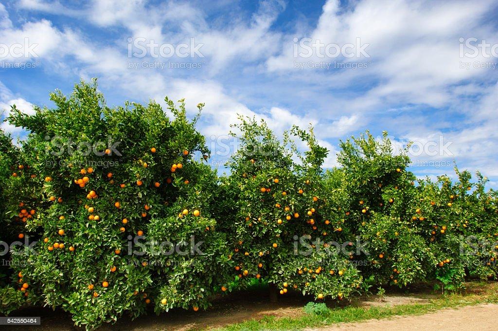 Orchard of Navel Orange Trees stock photo