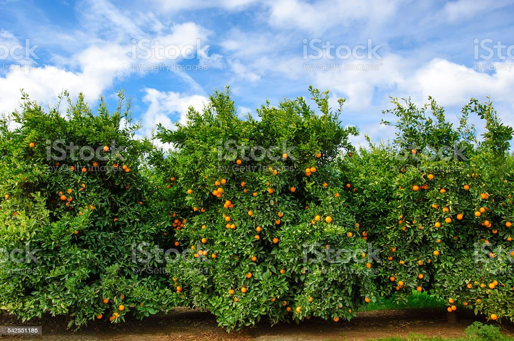 Orchard of Navel Orange Trees stock photo