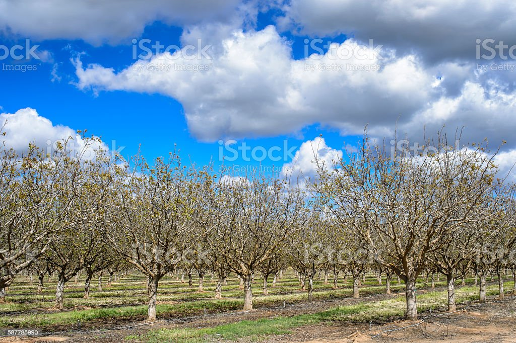 Orchard of Pistachio Nut Trees and Cloudy Sky stock photo