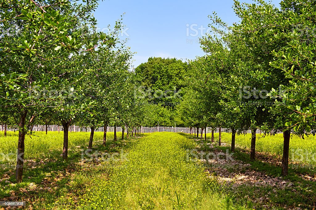 Orchard of plum trees stock photo