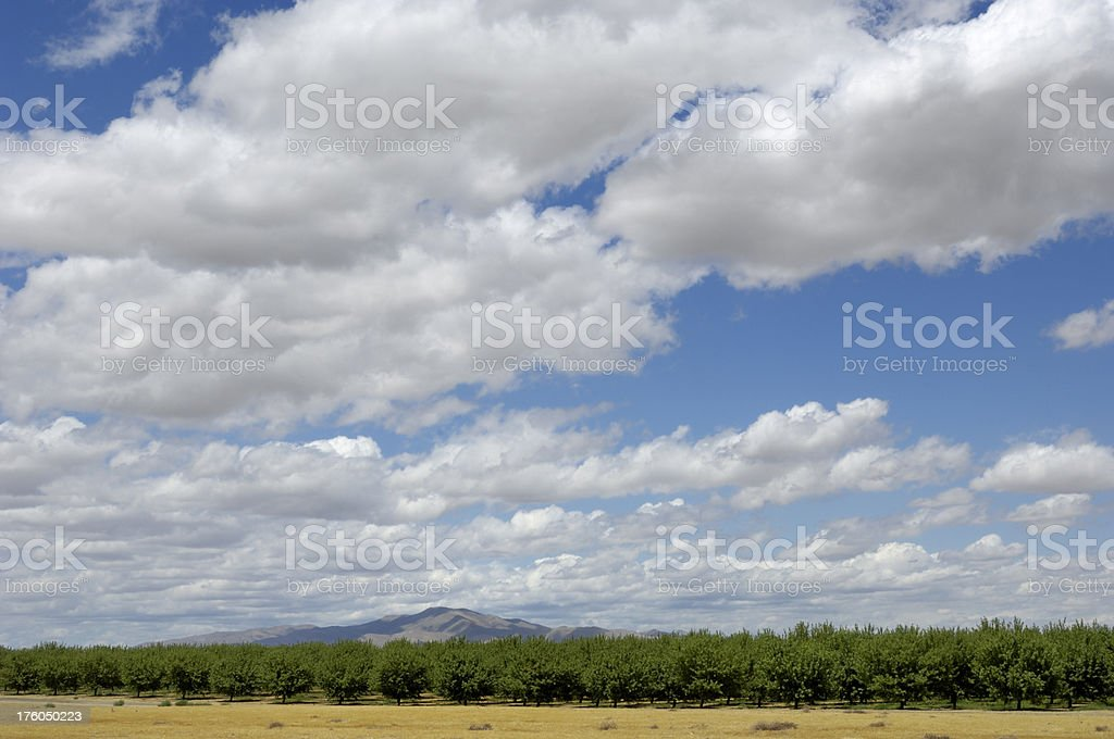 Orchard of Ripening Almond Nuts royalty-free stock photo