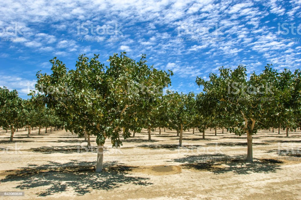 Orchard of Ripening Pistachio Nuts on Under Cloudy Sky stock photo