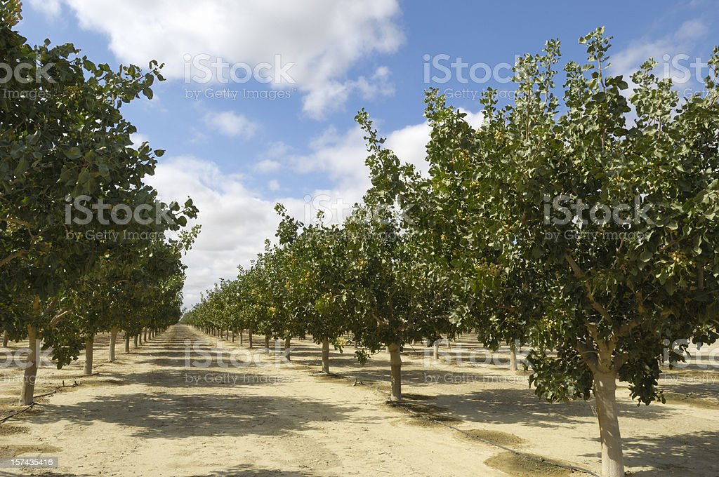 Orchard of Ripening Pistachio Nuts royalty-free stock photo