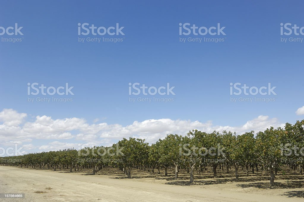 Orchard of Ripening Pistachio Nuts stock photo