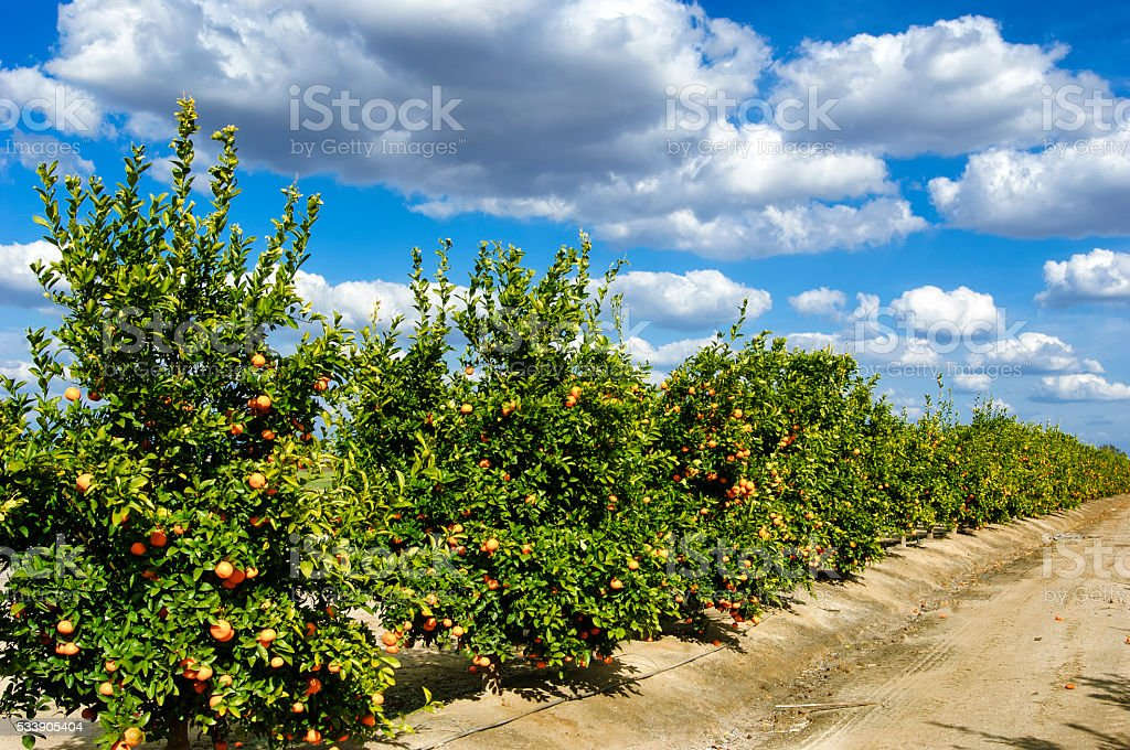 Orchard of Tangerine Trees stock photo