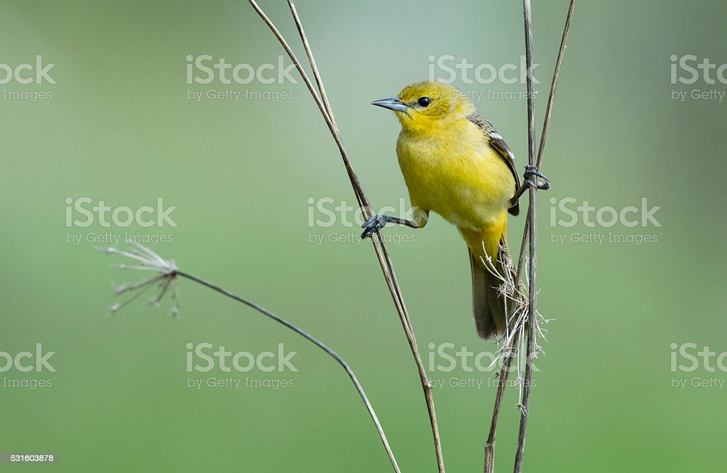 Orchard Oriole, Icterus Spurius, female bird perching in springtime stock photo