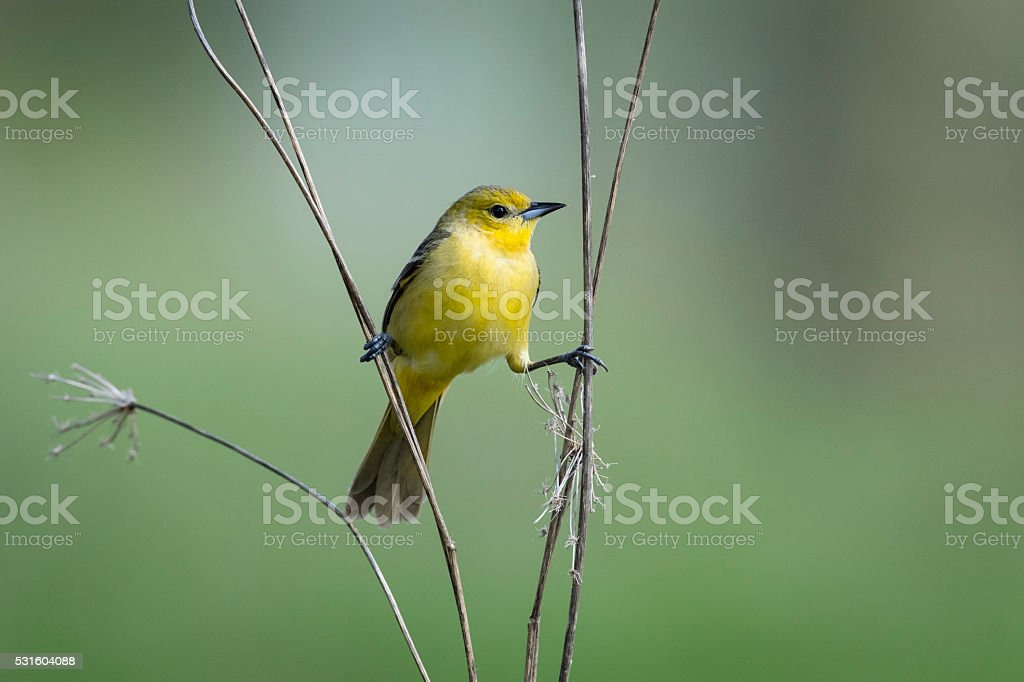 Orchard Oriole, Icterus Spurius, female bird perching in springtime stock photo