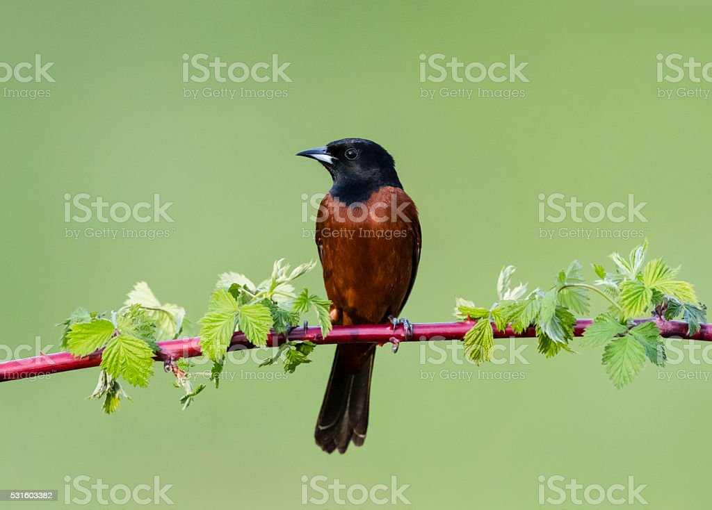 Orchard Oriole, Icterus Spurius, male bird perching in springtime stock photo