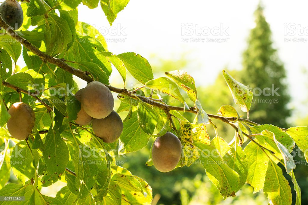 Orchard. Ripe plum on branches stock photo