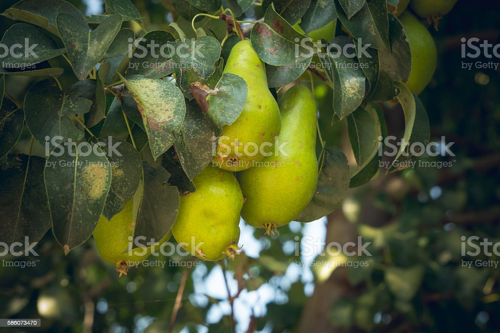 Orchard. Ripening pears stock photo