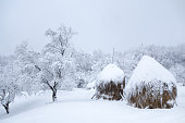 Orchard trees with snow