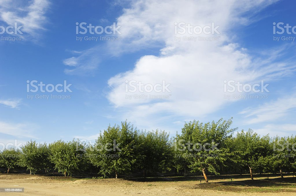 Orchard View of Ripening Almond Nuts royalty-free stock photo