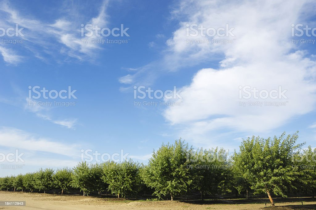 Orchard View of Ripening Almond Nuts stock photo