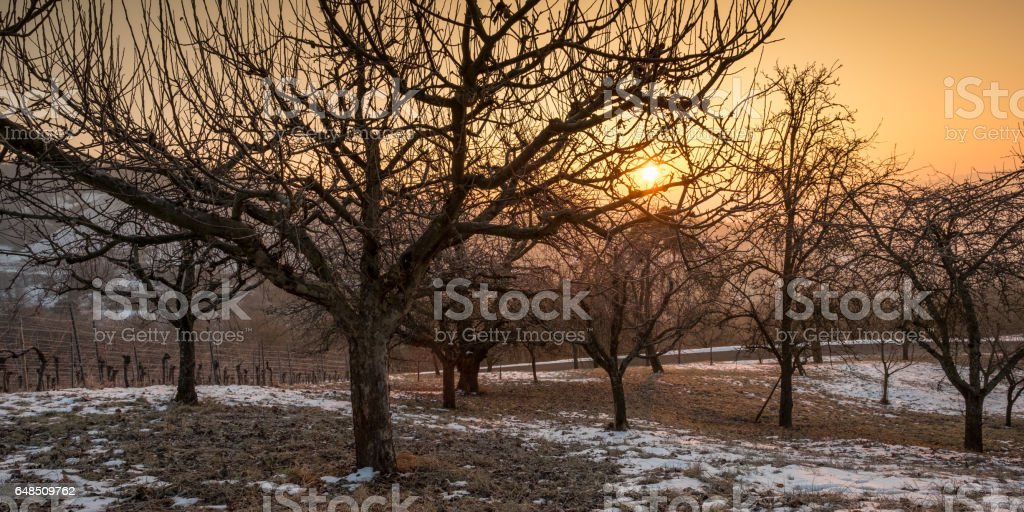 Orchard with apple trees in winter sunset stock photo
