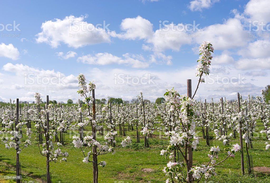 Orchard with blooming apple trees in Haspengouw,Belgium. stock photo