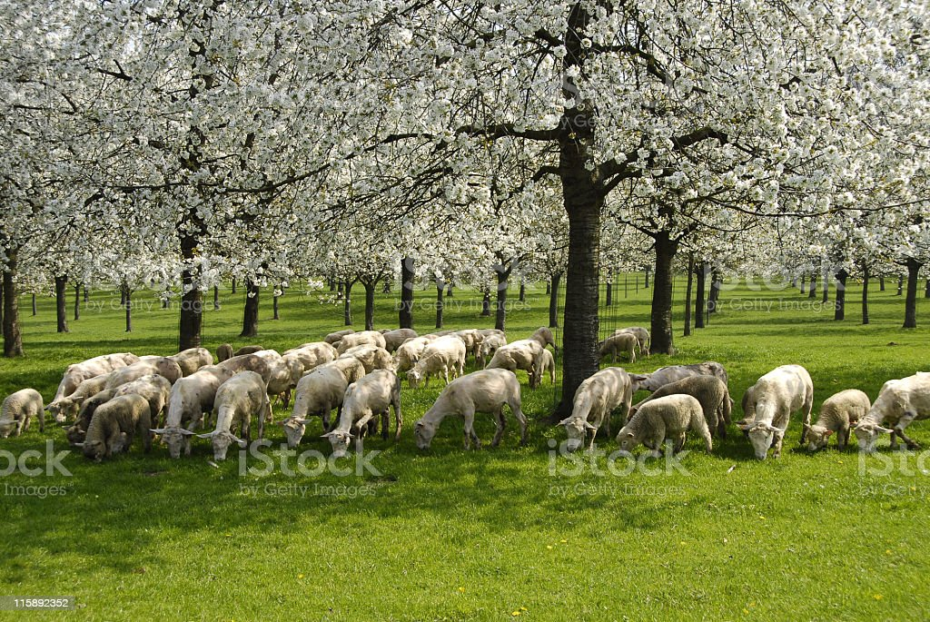 Orchard with blooming fruit trees and sheep in springtime stock photo