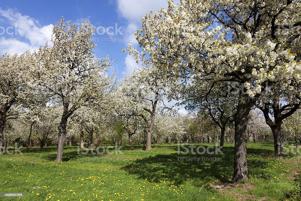 Orchard with cherry trees in blossom, Haspengouw, Belgium stock photo