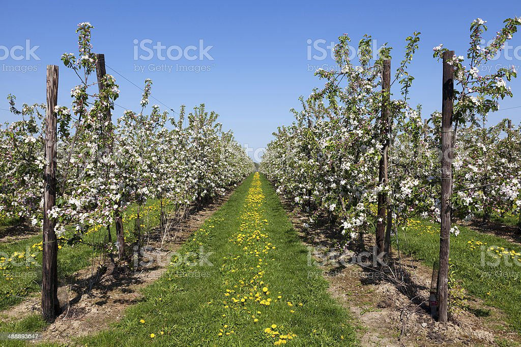 Orchard with fruit trees in blossom stock photo