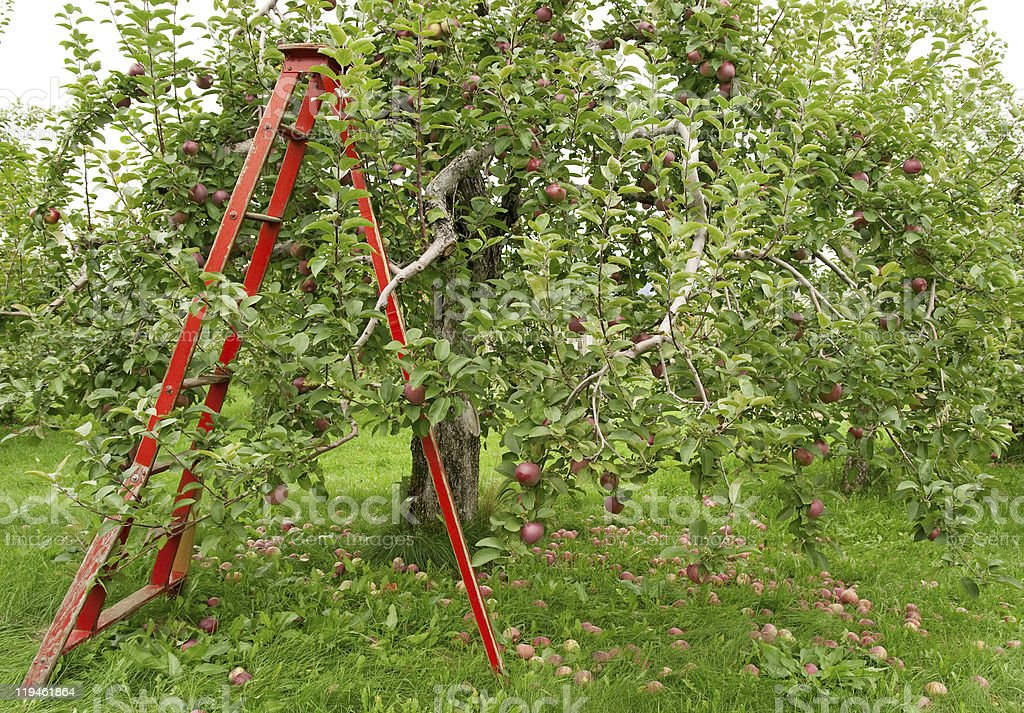 Orchard with ladder to pick up apples royalty-free stock photo