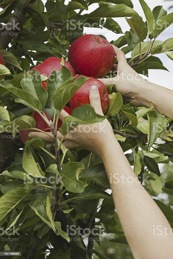 Orchard # 62 XXL royalty-free stock photo