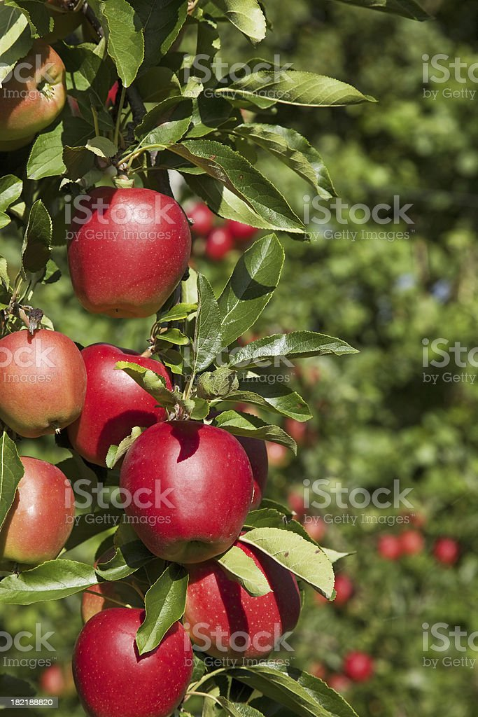 Orchard # 64 XXXL stock photo