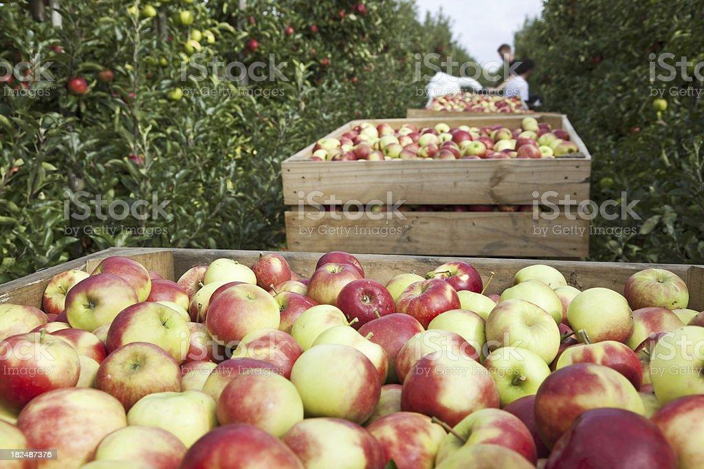Orchard # 88 XXXL stock photo