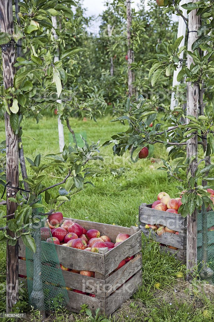 Orchard # 100 XXXL royalty-free stock photo