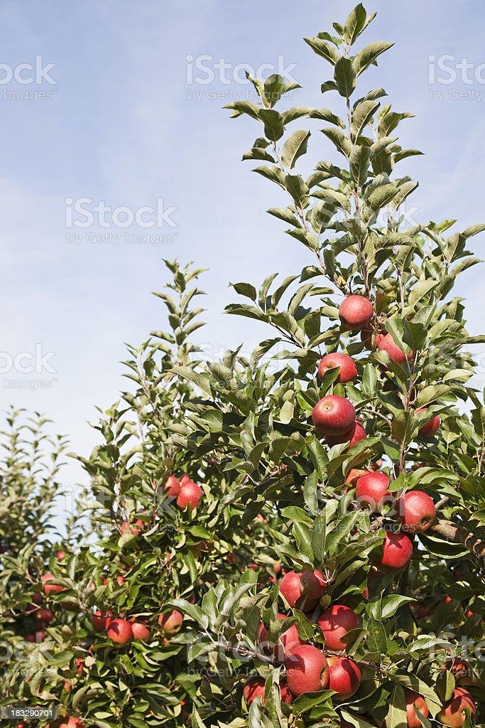 Orchard # 109 XXXL royalty-free stock photo