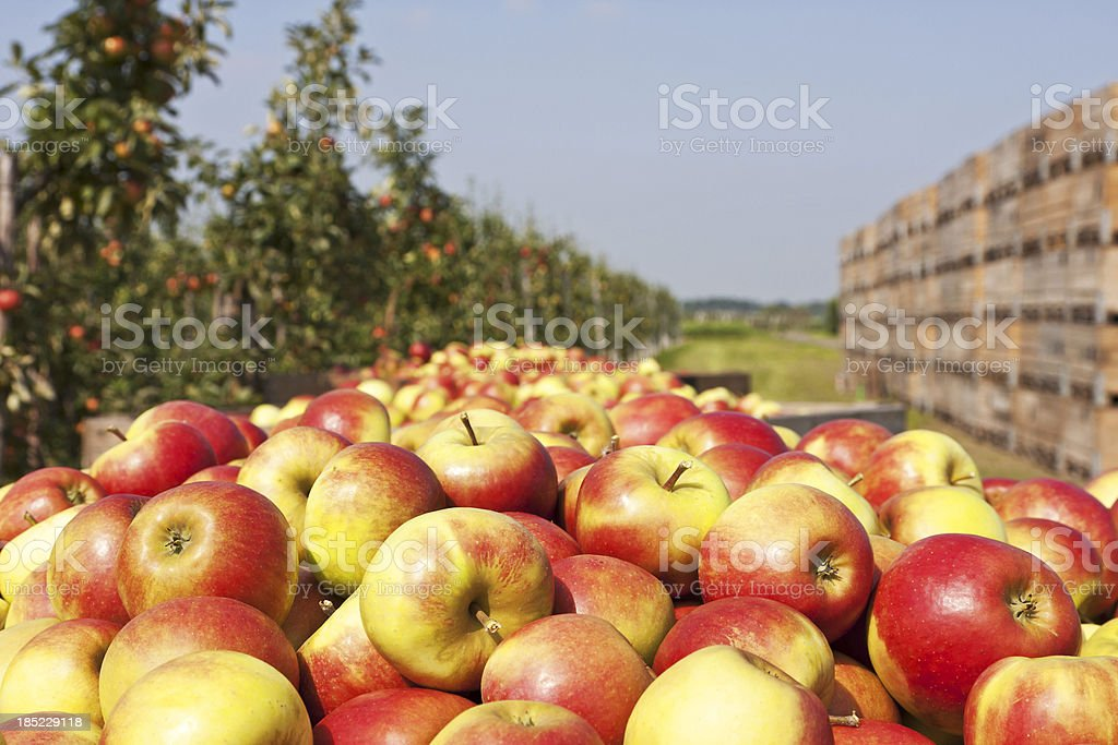 Orchard # 126 XXXL stock photo