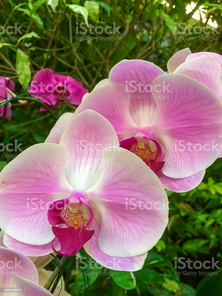 Orchid are called Phalaenopsis. stock photo