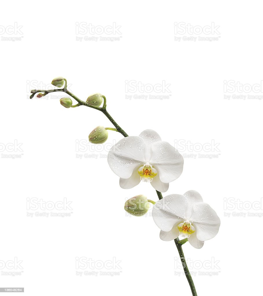 fond orchid?e royalty-free stock photo