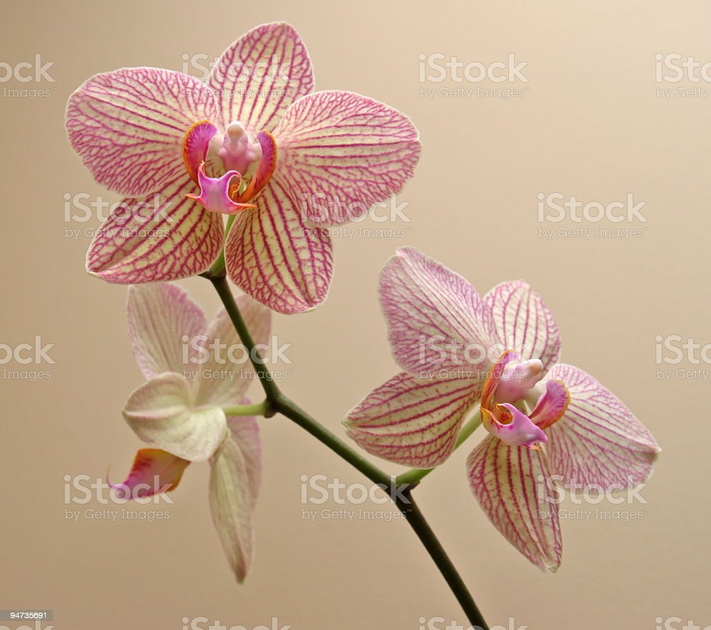 orchid blooms - yellow with pink stripes royalty-free stock photo