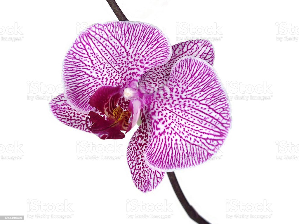 orchid blossom macro shot royalty-free stock photo