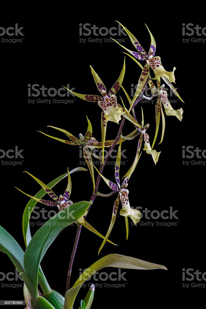Orchid Brassia isolated on black background stock photo