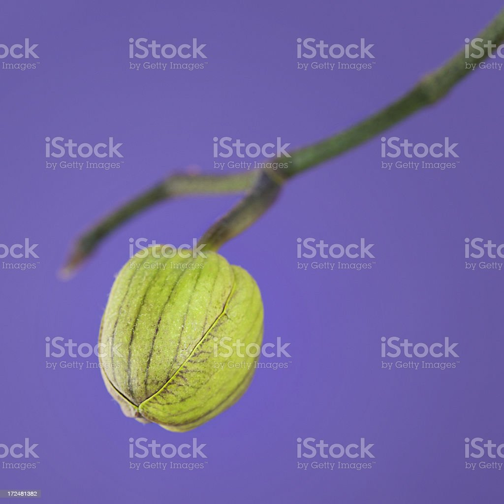 Orchid bud royalty-free stock photo