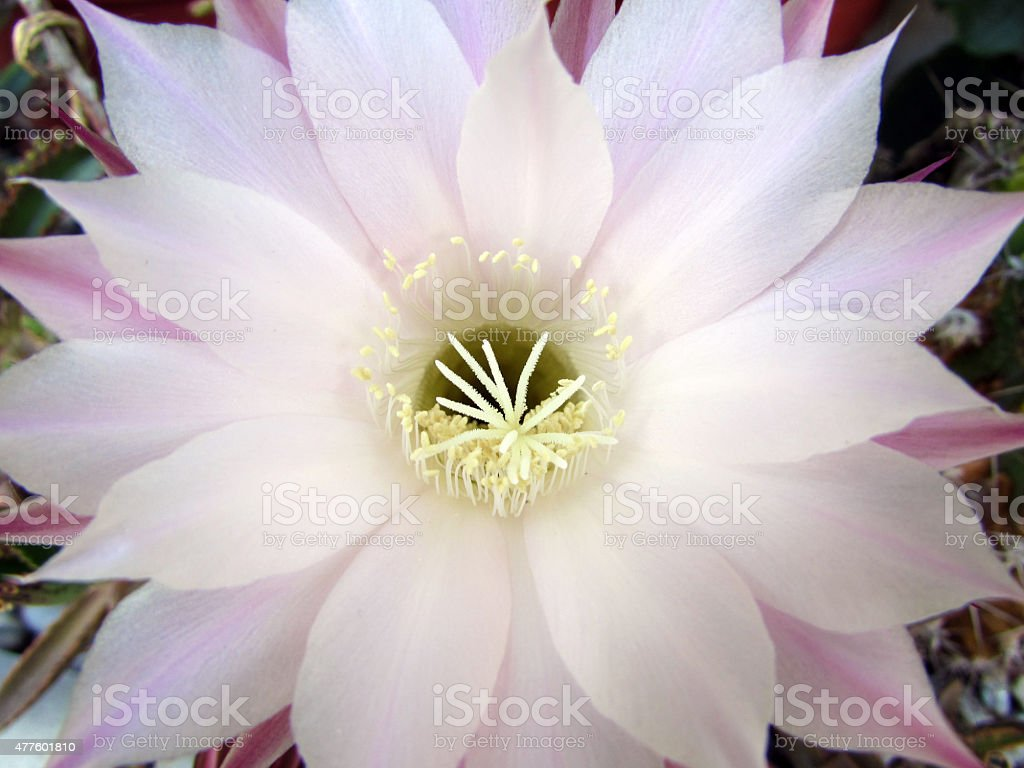 Orchid Cactus stock photo