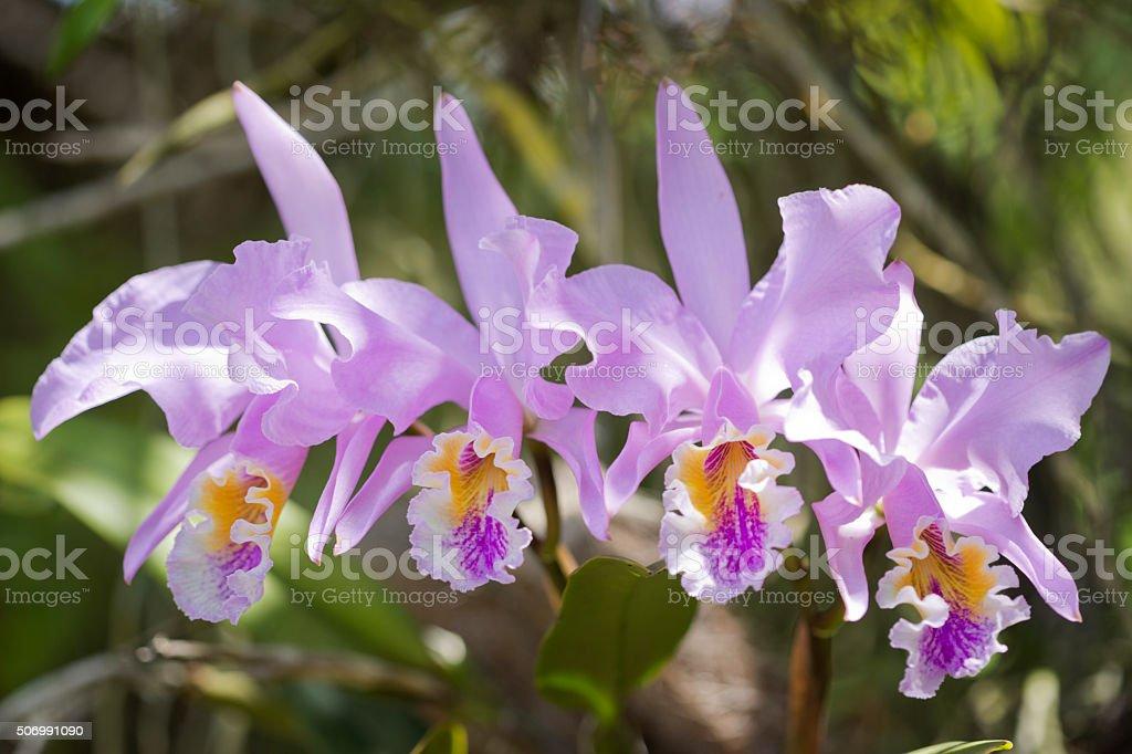 Orchid Cattleya Mossiae stock photo