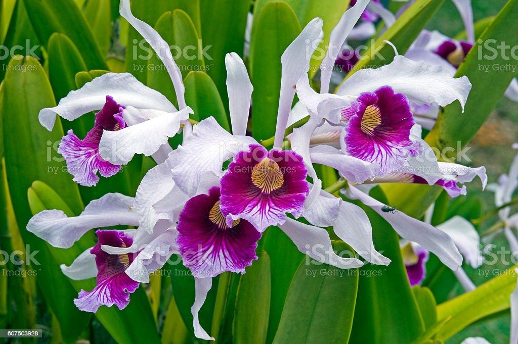Orchid Cattleya purpurata, before Laelia purpurata stock photo