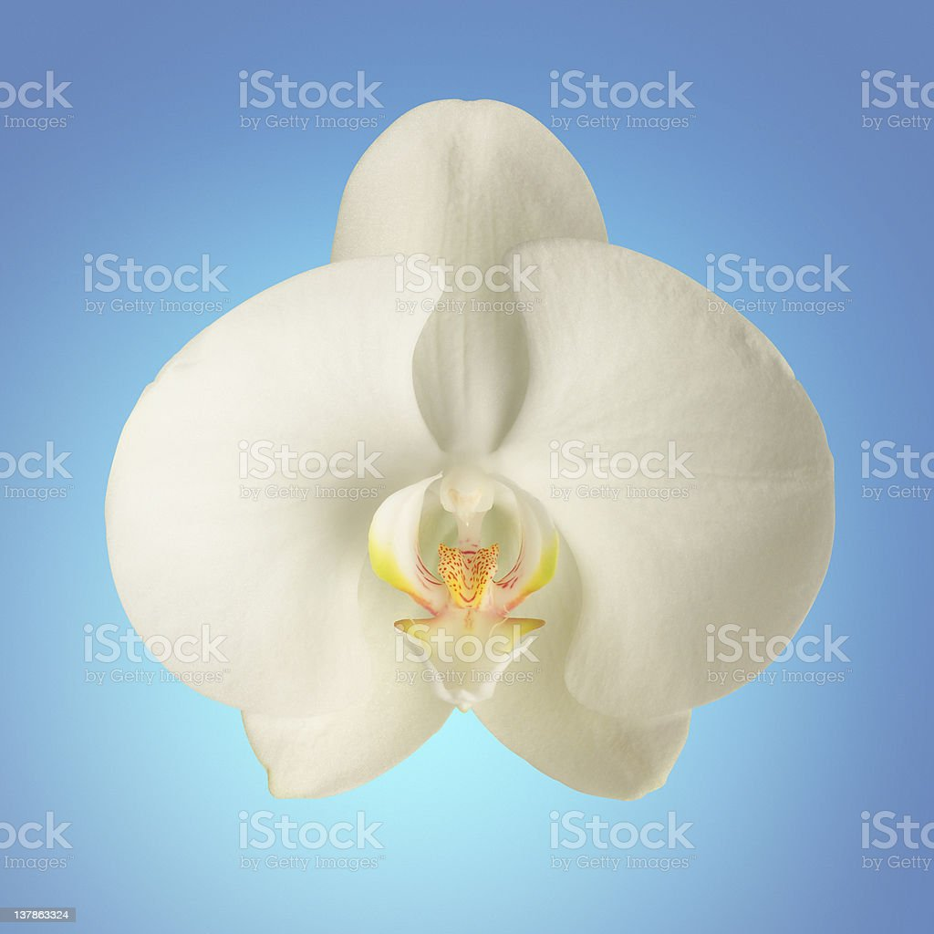 Orchid close up with clipping path. royalty-free stock photo