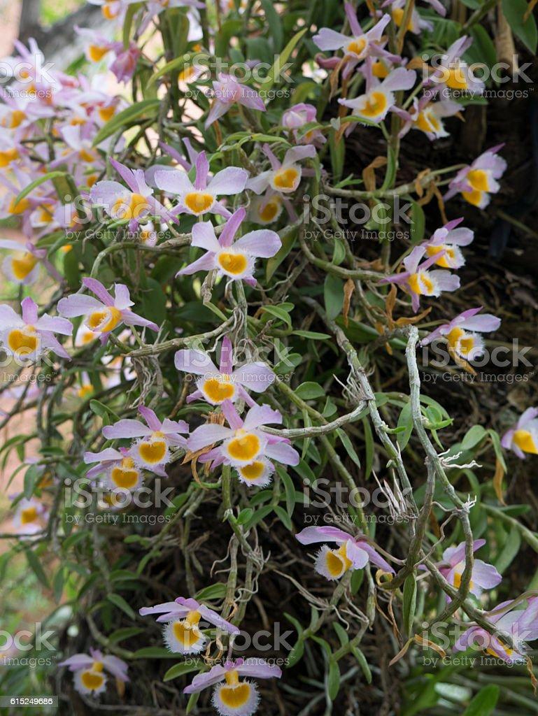 Orchid Dendrobium loddigesii stock photo