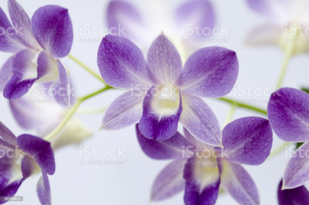 Orchid dendrobium on white background royalty-free stock photo