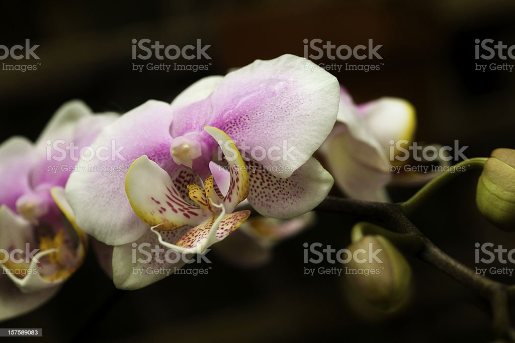 Orchid, Exotic Flower, Dark Background royalty-free stock photo